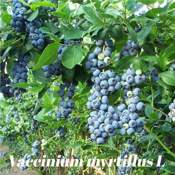 Galerie vaccinium myrtillus L