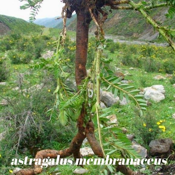 galerie astragalus membranaceus 1