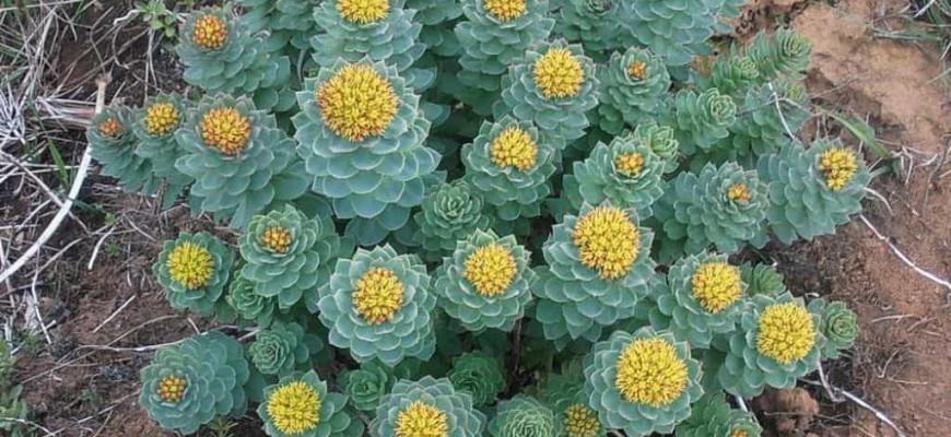 plante adaptogenes